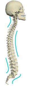 cervical curve on skeleton